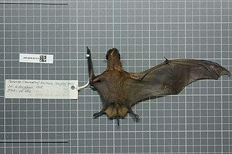 Spotted free-tailed bat - Image: Naturalis Biodiversity Center ZMA.MAM.28374.b dor Chaerephon bivittatus skin