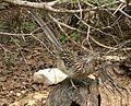 Nature Center - Greater Roadrunner (Geococcyx californianus) - Flickr - Jay Sturner.jpg