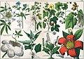Naturgeschichte des Pflanzenreichs Tafel XXXV.jpg
