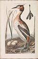 Nederlandsche vogelen (KB) - Podiceps cristatus (168b).jpg