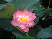The lotus flower, the species of flower said to have been used during the Flower Sermon.