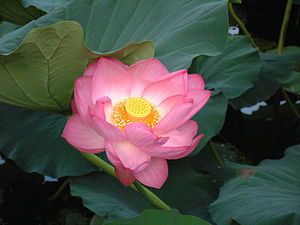 The lotus flower, the species of flower said t...