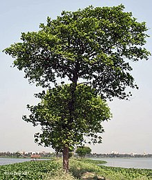 Tree in Kolkata, West Bengal, India.