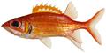 Neoniphon marianus - pone.0010676.g036.png