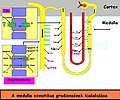 Nephron ozmotikus gradiense.jpg