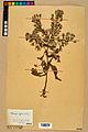 Neuchâtel Herbarium - Borago officinalis - NEU000020575.jpg