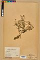 Neuchâtel Herbarium - Borago officinalis - NEU000020580.jpg
