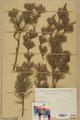 Neuchâtel Herbarium - Pinus sylvestris - NEU000003765.tiff