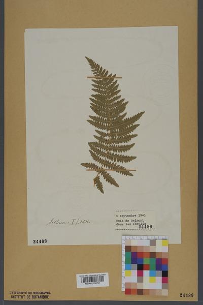 File:Neuchâtel Herbarium - Pteridium aquilinum - NEU000000761.tiff