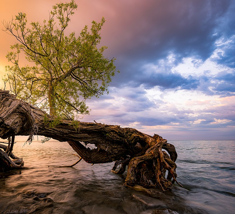 sunset on lake ontario with new growth trees coming from the water, sandbanks national park, canada