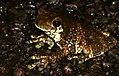 New River Treefrog (Trachycephalus hadroceps) on the road ... (27164054549).jpg