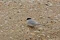 New Zealand Fairy Tern on shell-beach.jpg