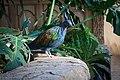 Nicobar Pigeon (31324944694).jpg