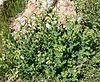Nicotiana obtusifolia form