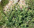 Nicotiana obtusifolia form.jpg