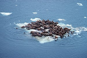 Bering Sea - Walrus (Odobenus rosmarus divergens), hauled out on Bering Sea ice, Alaska, June 1978. (Source: NOAA)