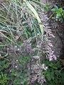 Noordwijk - Coepelduyn - Duinriet (Calamagrostis epigejos)?.jpg