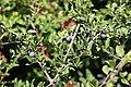 Noordwijk - Sleedoorn (Prunus spinosa).jpg