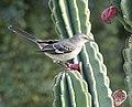 Northern Mockingbird (31362507451).jpg