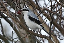 Northern Shrike, Arvada, Jefferson, Colorado.jpg
