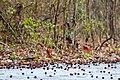 Northern cardinal (25574959767).jpg