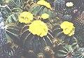 Notocactus magnificus 2.jpg