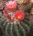 Notocactus roseiflorus.jpg