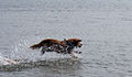 Nova Scotia Duck Tolling Retriever Koiraranta.jpg