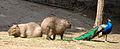 Nyíregyháza Zoo, Hydrochaeris hydrochaeris.jpg