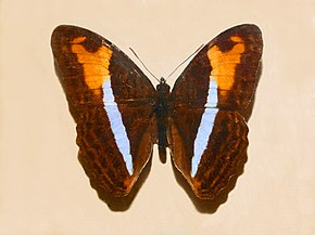 Description de l'image Nymphalidae - Adelpha plesaure.JPG.