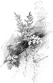 OFH-049 Pellaea gracilis.png