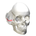 Occipital bone - Groove for transverse sinus2.png