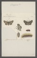 Ocnogyna - Print - Iconographia Zoologica - Special Collections University of Amsterdam - UBAINV0274 055 05 0055.tif