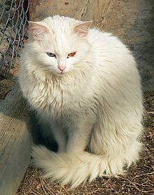 Turkish Angora Wikiwand