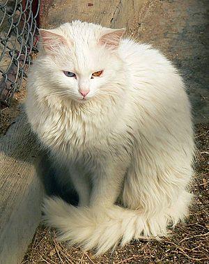Turkish Angora - Odd-eyed Angora