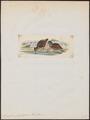 Odontophorus pachyrhynchus - 1820-1863 - Print - Iconographia Zoologica - Special Collections University of Amsterdam - UBA01 IZ17100189.tif