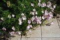 Oenothera speciosa Siskiyou A.jpg