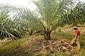Oilpalm Mizoram DSC6871.jpg
