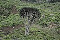Old Dragon blood (Dracaena draco) tree - panoramio.jpg