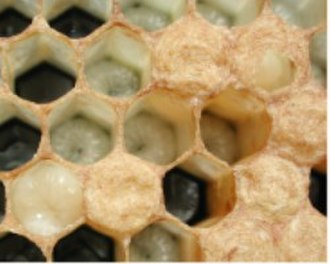 Bee brood - Older larvae in open cells. On the lower left is one about to pupate. On the upper right is one partly capped.