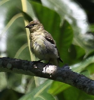 Olivaceous siskin species of bird