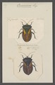 Oncomerus - Print - Iconographia Zoologica - Special Collections University of Amsterdam - UBAINV0274 040 03 0023.tif