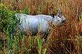 One-horned Rhino @ kaziranga.jpg