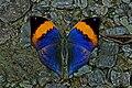 Open wing position of Kallima inachus Doyere, 1840 – Orange Oakleaf WLB DSC 0288.jpg