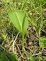 Ophioglossum vulgatum1.JPG