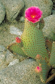 Opuntia basilaris wikipedia la enciclopedia libre for Cactus variedades