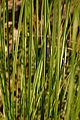 Orange New Zealand Sedge Carex testacea Leaves 2000px.JPG