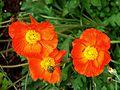 Orange poppy (8783973891).jpg