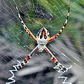 Orb Weaver of the Dunes (Argiope floridana) (6162013307).jpg