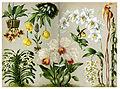 Orchidaceae various.jpg